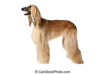 Purebred Afghan hound dog standing in show position isolated...