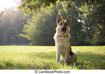 purebred, alsaciano, parque, perro, joven