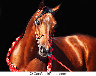 purebred  bay arabian stallion portrait in movement