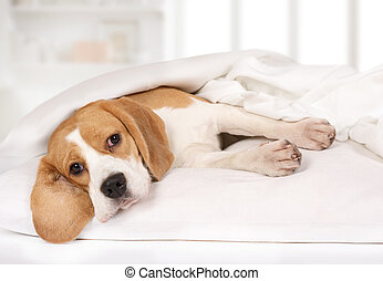 Purebred Beagle dog lying on the bed