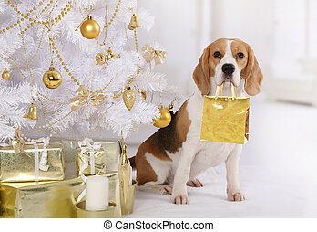 Purebred Beagle dog with a gift package in his mouth