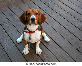 purebred beagle - A tri-colored beagle dog posed sitting.