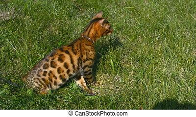 Purebred Bengal cat. - Purebred Bengal cat on a walk in the...