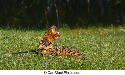 Purebred Bengal cat. - Purebred Bengal cat on a walk in the ...
