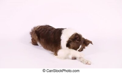 Purebred Border Collie dog lying on white background -...