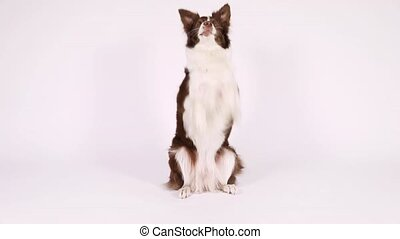 Purebred Border Collie dog sitting up on her hind legs and ...