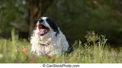Purebred Border Collie panting after a long play