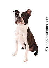 Boston Terrier Dog Standing - Purebred Boston Terrier Dog...