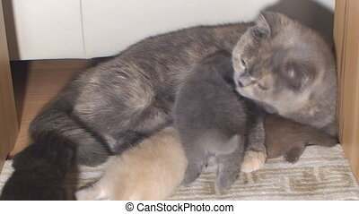 purebred British cat carefully washes and feeds young kittens