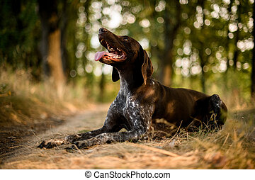 Purebred brown dog lying on the dry grass in the autumn forest