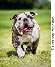 Purebred adult bulldog photographed outdoors on a sunny summer day.