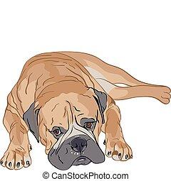 purebred Bullmastiff - bullmastiff portrait lying