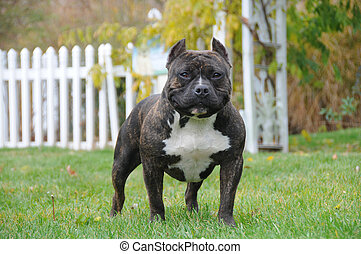 Purebred Canine American Bully Dog Standing in Backyard on...