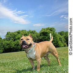 Purebred Canine American Bully Dog