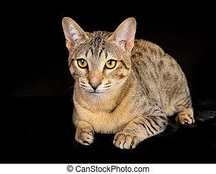 Purebred cat - Shot of purebred domestic cat on black...
