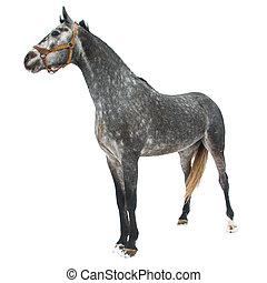 purebred, cavallo, isolato