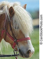 purebred, cavalo, closeup