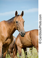 purebred, cavalo, em, rebanho