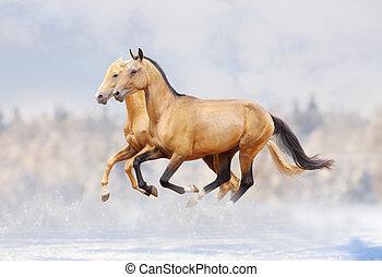 purebred, cavalos