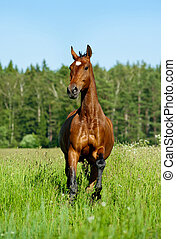 purebred, cheval