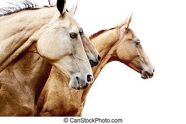 purebred, chevaux