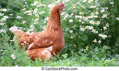 Purebred chicken walks in yard - Purebred chicken walks in...