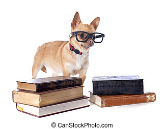 chihuahua and glasses - purebred chihuahua and glasses in...