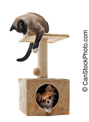 chihuahua and siamese cat - purebred chihuahua and siamese...