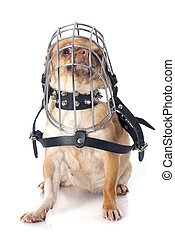 purebred chihuahua in muzzle in front of white background