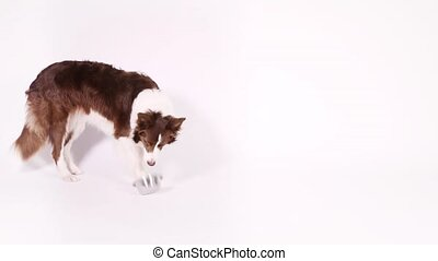 Purebred Collie border dog sitting on a white background and takes a bowl for feeding in his teeth