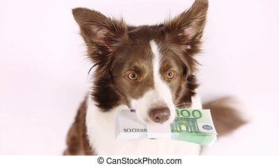 Purebred Collie border dog with the stack of bills one hundred Euro