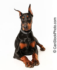 Purebred dobermann dog - Portrait of purebred dobermann...