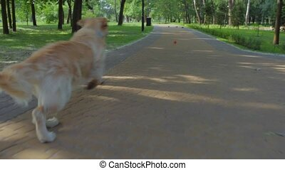 Purebred dog chasing the ball - Outdoors activities. Big...