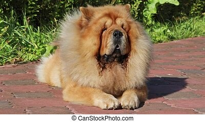 Purebred dog Chow Chow lying outdoors on backyard