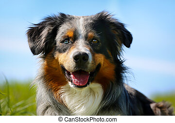 Purebred dog - Close-up of brown, black and white purebred...