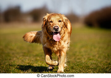 Beautiful purebred dog walking towards the camera.