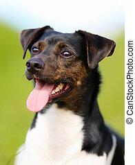 Purebred dog - Shot of purebred dog. Taken outside on a ...