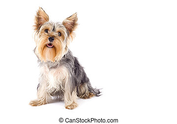 purebred dog (Yorkshire terrier) isolated on white