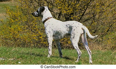 Purebred dogs - Beautiful purebred dalmatians walks on the...