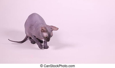 Don Sphynx cat playing with laser pointer beam - Purebred...
