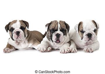 Purebred English Bulldog puppies over white - Three purebred...