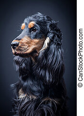 Purebred english cocker spaniel - Portrait of a purebred...