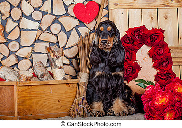 Purebred english cocker spaniel - Portrait of a purebred...