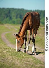 purebred, eten, zomer, foal, wei, gras