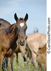 purebred foal