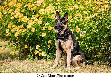 Purebred German Shepherd Dog, Alsatian Wolf Dog Sitting Pose,