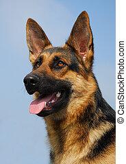 purebred german shepherd dog