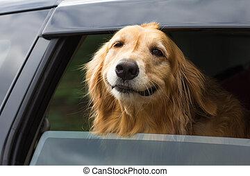 purebred golden retriever dog