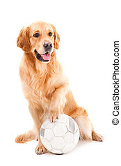 golden retriever dog playing with ball on isolated white - ...