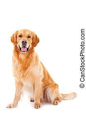 purebred golden retriever dog sitting on isolated white background